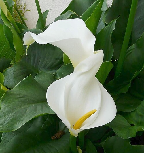 Arums blancs