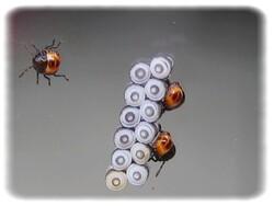 Eurydema sp, larve de stade I