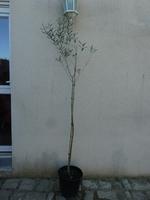 l'olivier 2