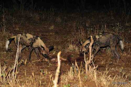 wild dogs on a kill