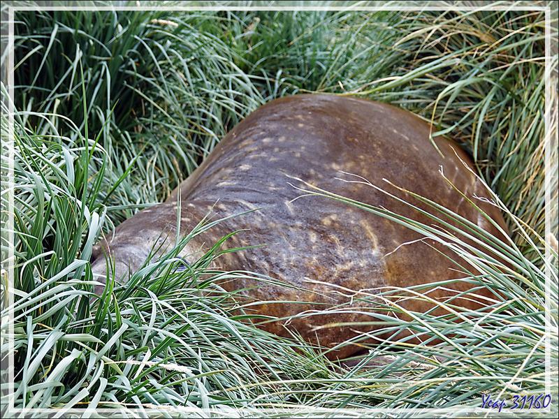 Otaries, Éléphants de mer, oiseaux (tel l'endémique Pipit de Géorgie du Sud) se cachent dans l'herbe à tussak (Poa ou Parodiochloa flabellata) - Whistle Cove - Fortuna Bay - Géorgie du Sud