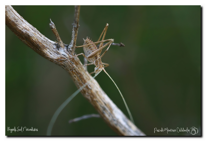 Tylopsis lilifolia ♂ juvénile ou le phanéroptère feuille de lys