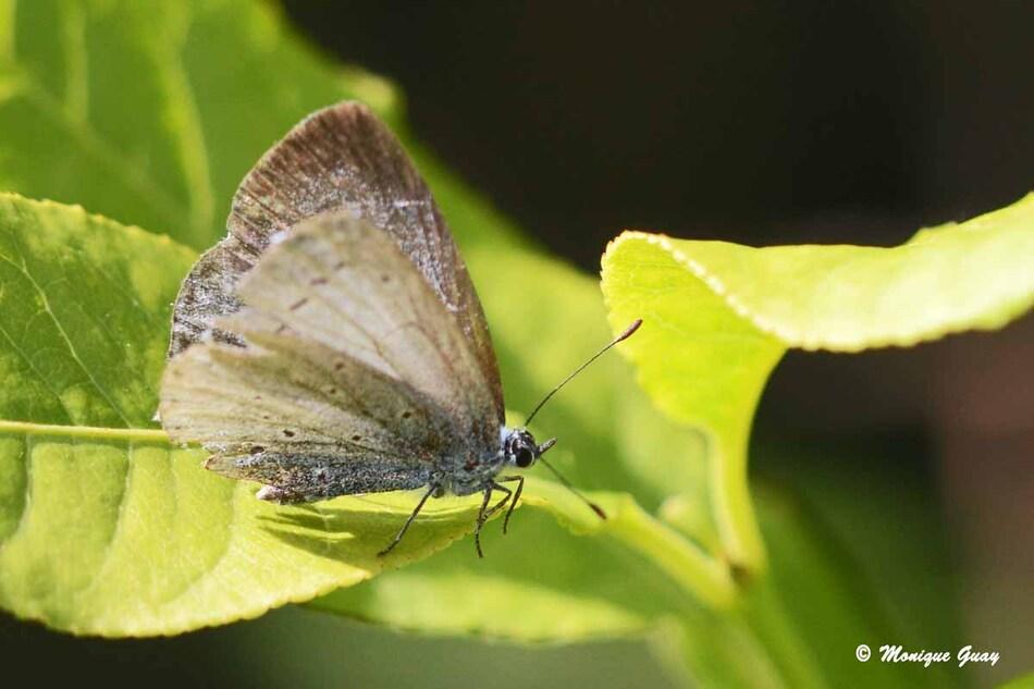 Papillon Azuré, Nacré ou Sablé ?