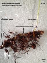 rhizome polypode fougère