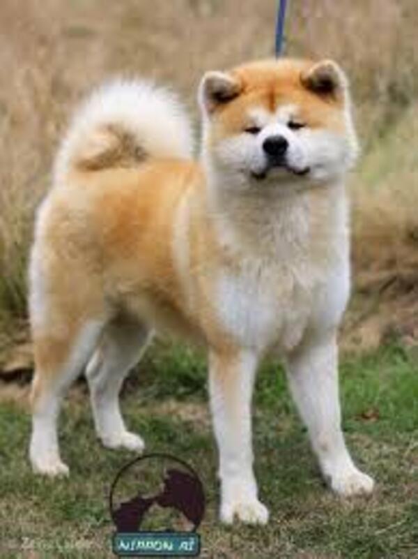 L'Akita Inu, chien japonais