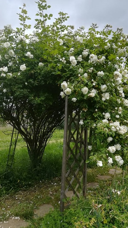 Le rosier de mamie