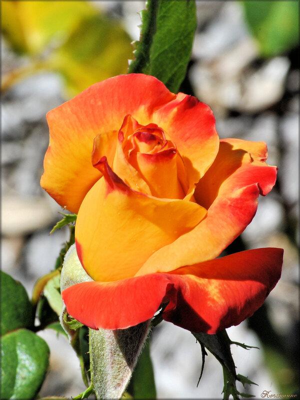 Photo de rose jaune et orange (fleur-flore)