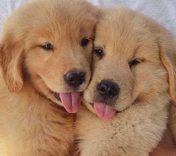 Bébés Golden