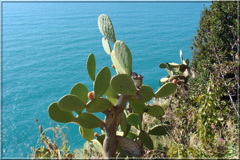 Italie, les 5 Terres : cactus