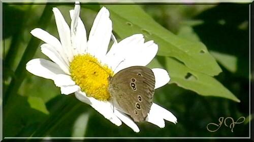 Papillon tristan