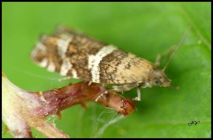 Micro-papillon.