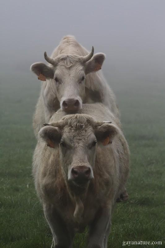 Vaches dans la brume