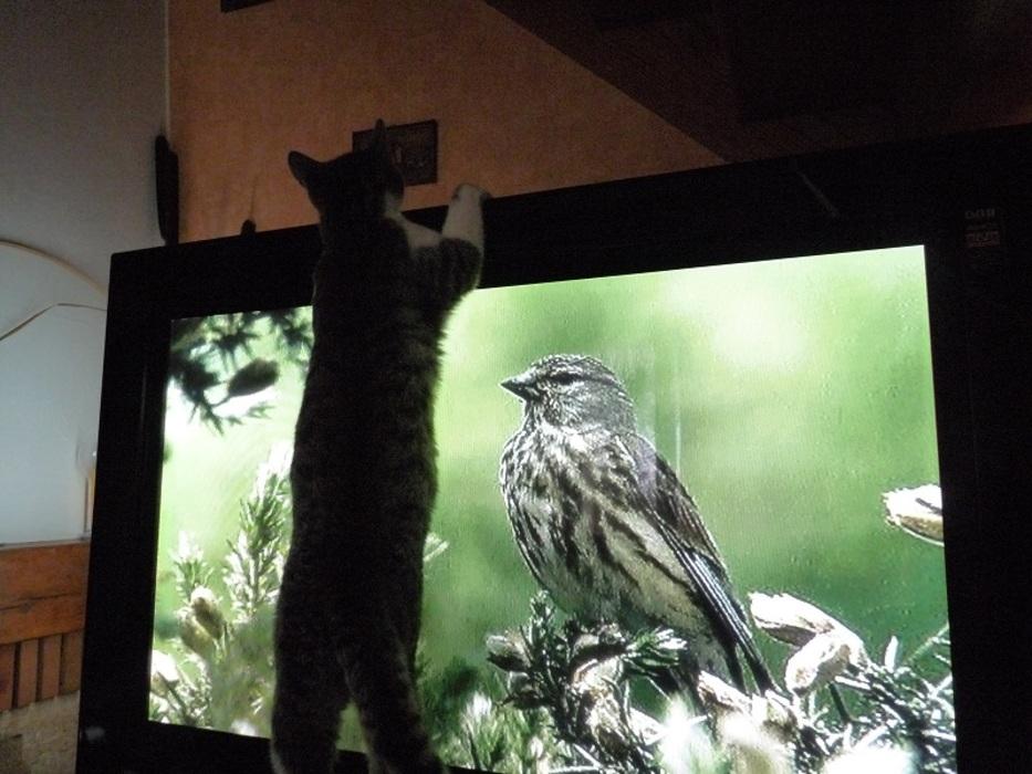 Miky chasse les oiseaux de la télé !