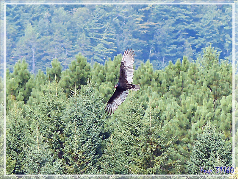 Vautour Urubu à tête rouge, Turkey Vulture (Cathartes aura) - Cap Tourmente - Saint-Joachim - Québec - Canada