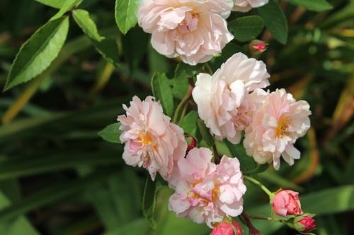 mes autres rosiers du révérend Pemberton