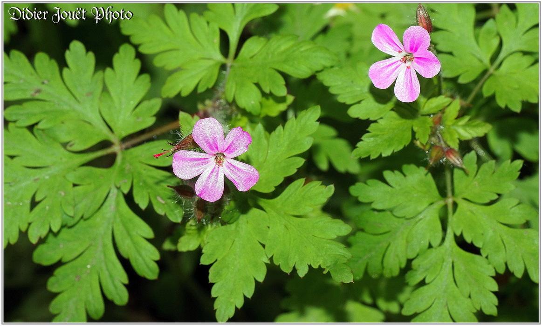 Herbe à Robert / Geranium robertianum