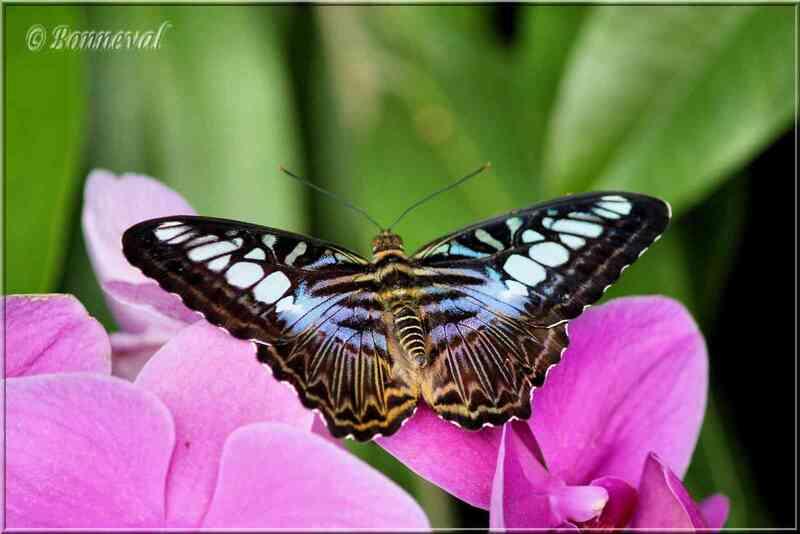 Papillons tropicaux Parthenos silvia lilacinus Nymphalidae