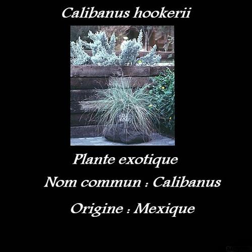 Calibanus hookerii