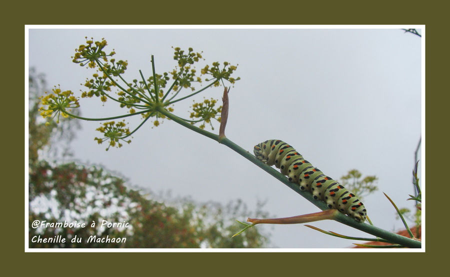 Chenille du papillon machaon dans le jardin