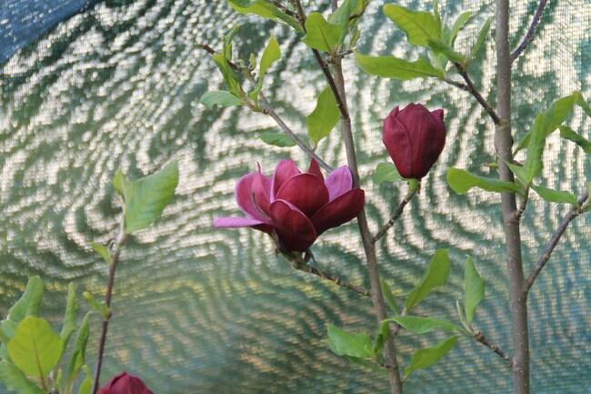 """le beau magnolia """"GENIE"""""""
