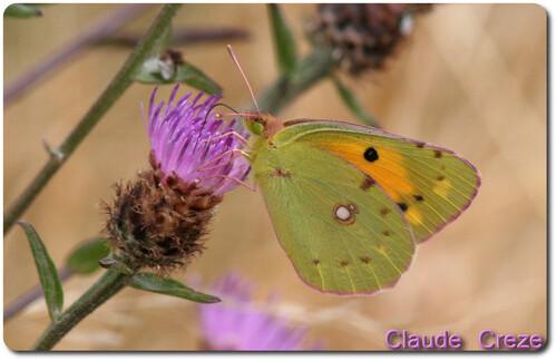 Papillon soucis femelle(cliquez sur la photo pour l'agrandir)