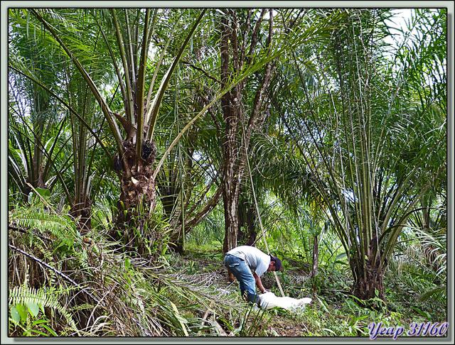 Blog de images-du-pays-des-ours : Images du Pays des Ours (et d'ailleurs ...), Récolte des fruits du palmier à huile (ici jeune plantation) - Puerto Viejo - Costa Rica