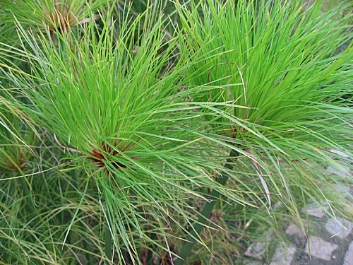 Cyperus papyrus detail 02 by Line1