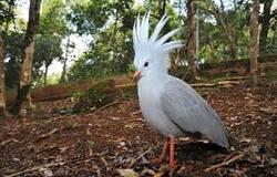 cagou,oiseau de lumière