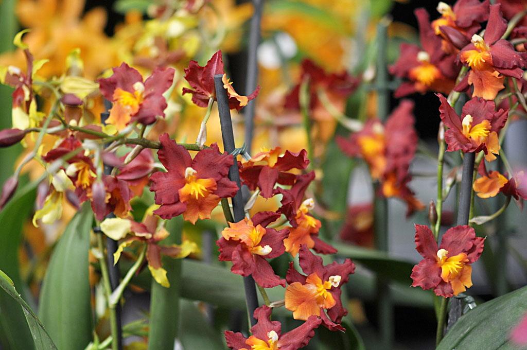 Exposition d'orchidées à Annequin (12)