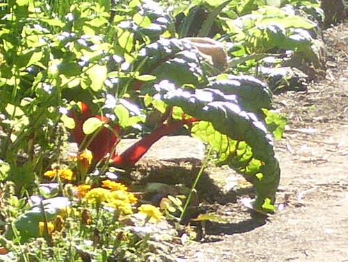 - Quelques photos du jardin mi-août : opulence -
