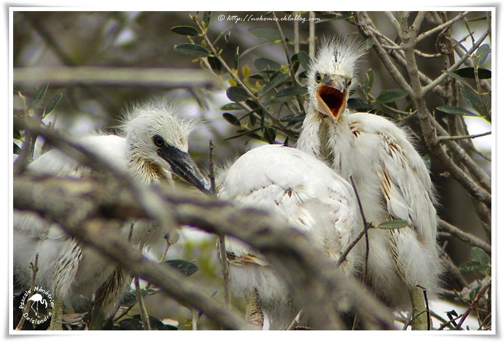 Aigrettes garzette - Egretta garzetta - Little Egret