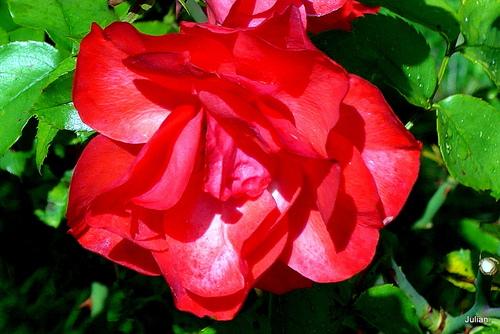 Les belles rose du jardin