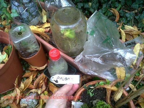 Boutures d'automne/ Autumn cuttings