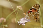 Vanessa Cardui (belle dame) - Nymphalidae