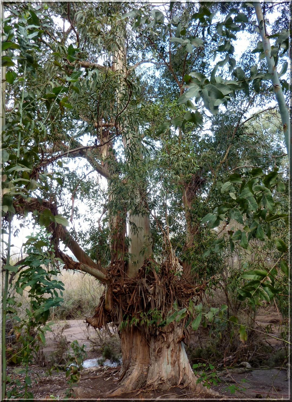 Eucalyptus 10-01-2014