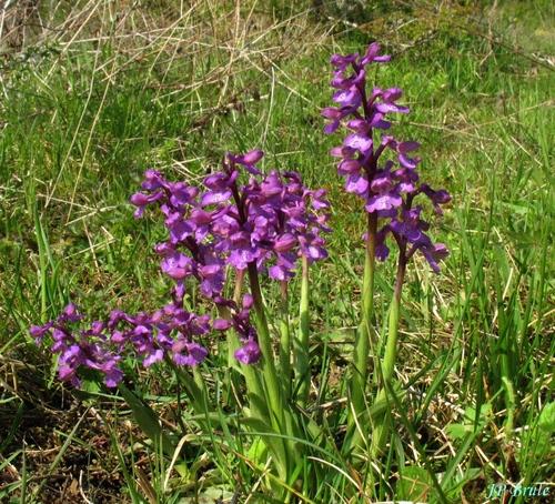 Botanique - les orchidées de la région