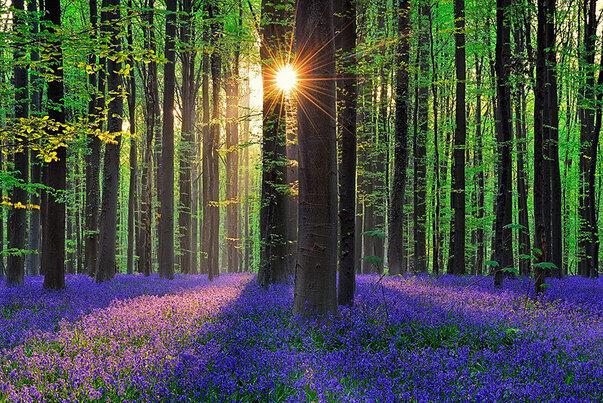 mystérieuse forêt entièrement tapissée de jacinthes