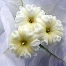 Petites fleurs au coeur de la bractée - Photo : Yvon