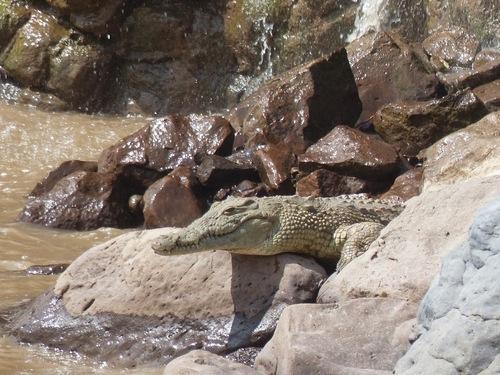 les crocodiles font la sieste après un bon repas