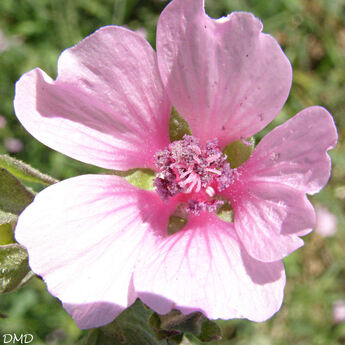 Althaea cannabina - guimauve faux chanvre