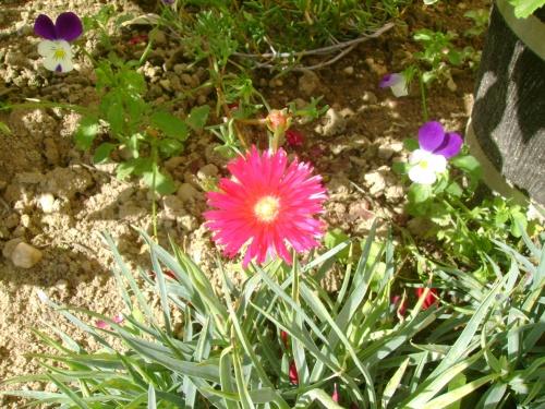Le pourpier fleur