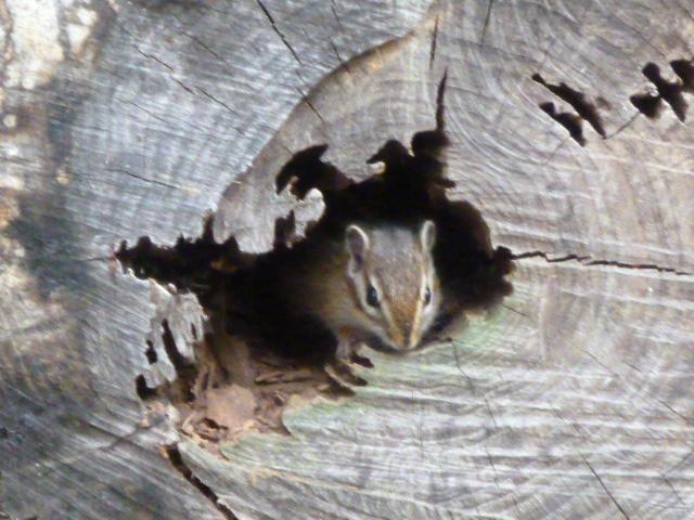 petit écureuil de Corée