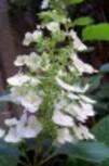 quercifolia-fleur