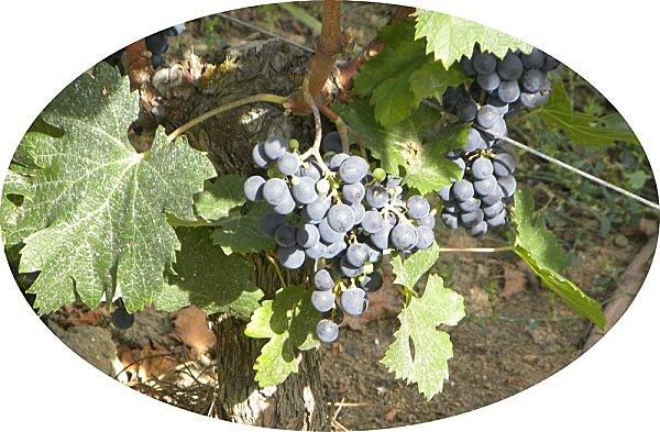 vigne3-copie-1