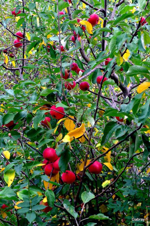 Salvagnac : le pommier et ses fruits ...