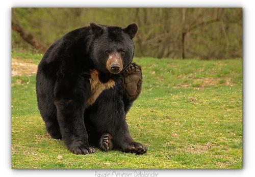 Ours noir Américain (Ursus americanus), ou Ours baribal