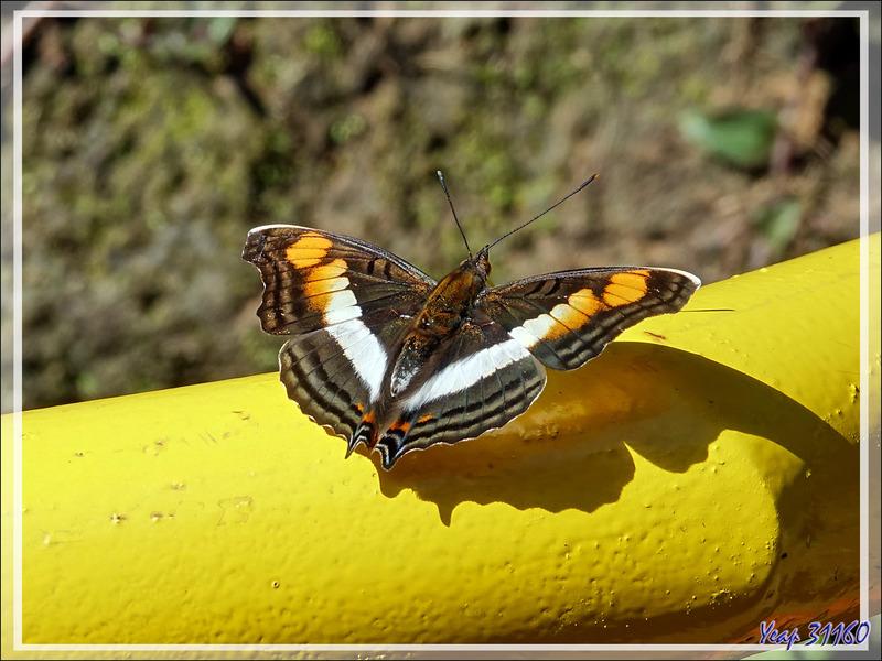 Un papillon peu farouche : Adelpha melona - Foz do Iguaçu - Brésil