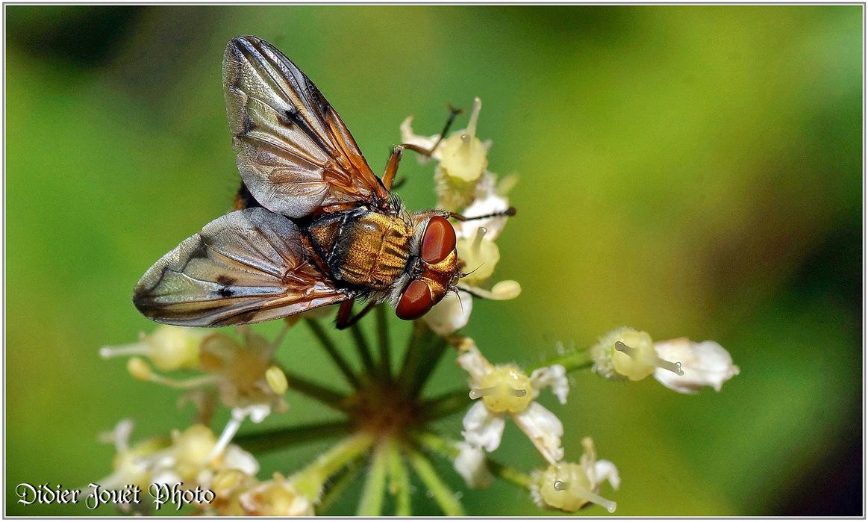 Phasie Crassipenne / Ectophasia crassipennis