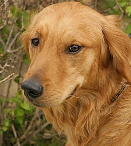 golden-retriever2