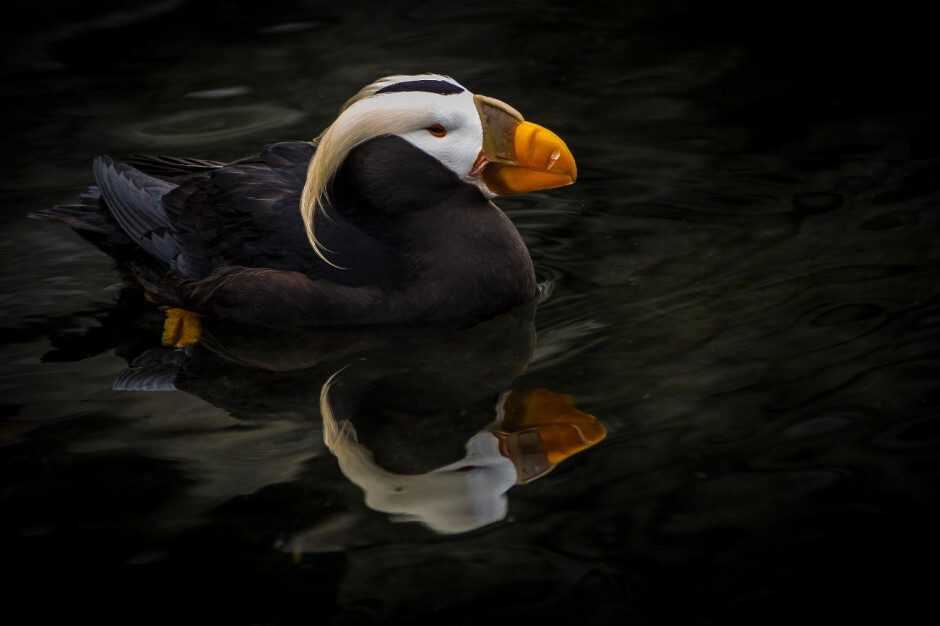 tufted-puffin-940x626
